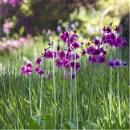 Pink Primulas by Irishkate