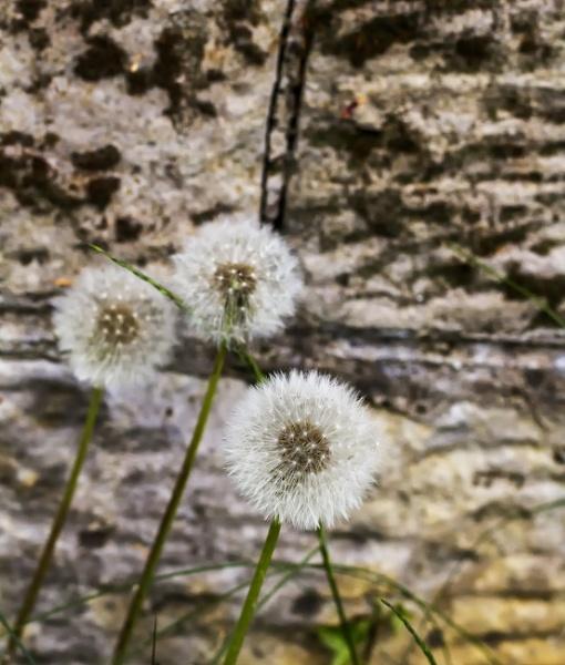 Love - Hate - Dandelions by Irishkate