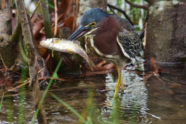 Green heron with fish by JeffGresko