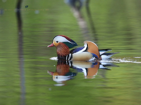 mandarin duck  by senn