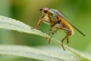 Yellow Dung Fly -  Scathophaga stercoraria by Mendipman