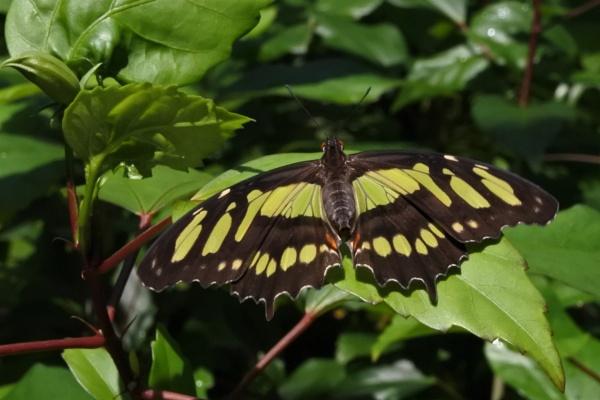 Malachite Butterfly by ANNDORASBOX