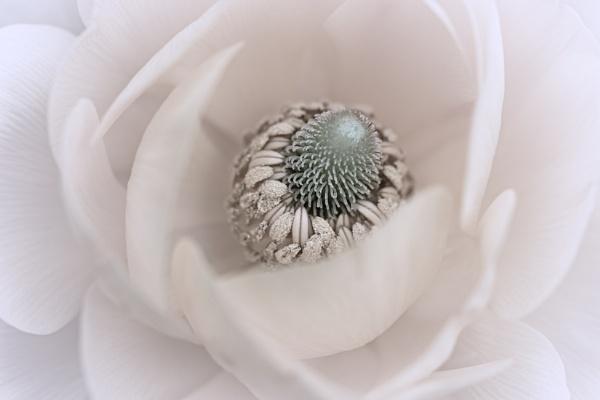 Ranunculus by gowebgo
