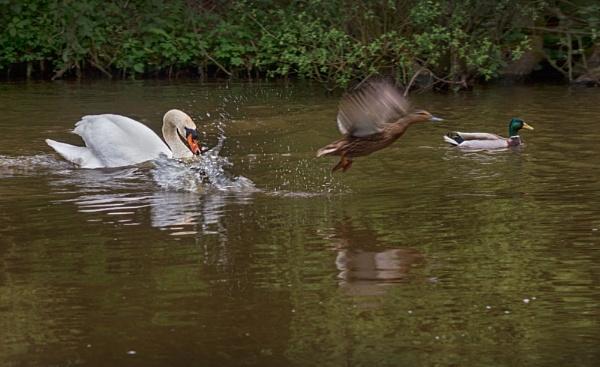Swan in pursuit by HelenaJ