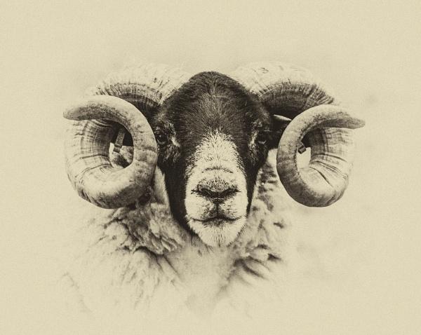 Blackface ram, Speyside by cisco4611