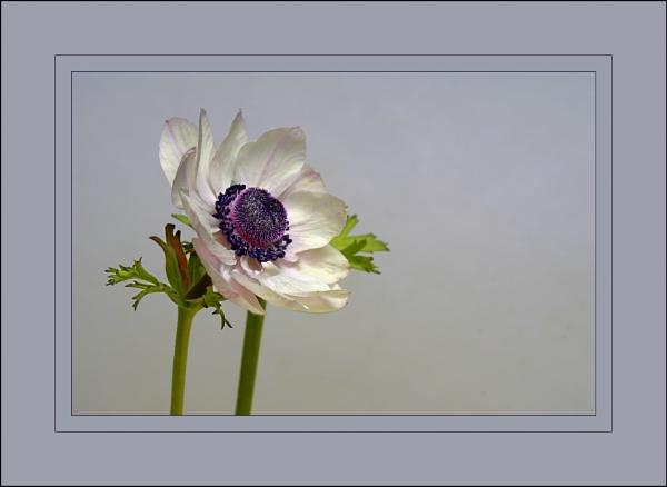 Anemone by deavilin