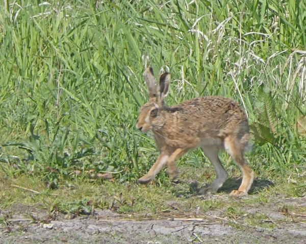 Brown Hare by Ted447