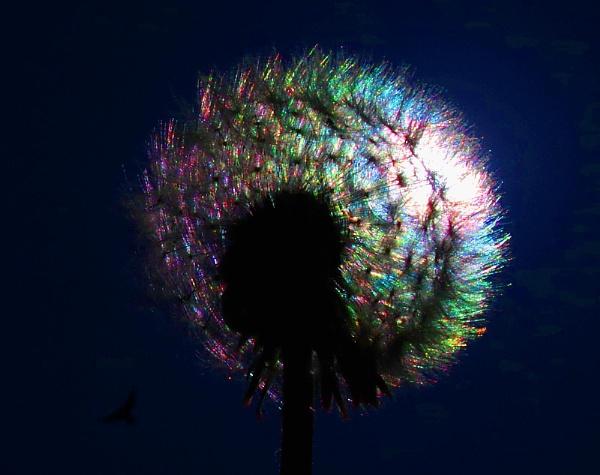 Iridescent dandelion by turniptowers