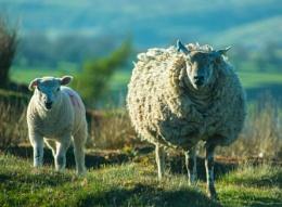 Ewe Two