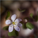 Shadows---Hepatica by taggart