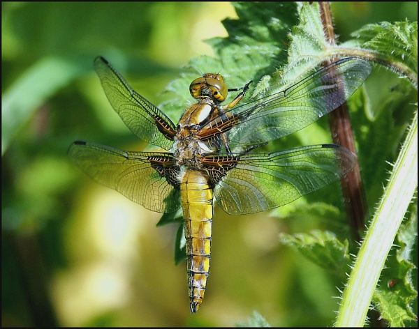 Fastest flying insect,the DRAGONFLY. by brandish