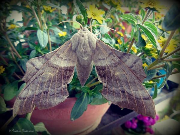 Poplar Hawk-moth (Laothoe populi) by idiabb
