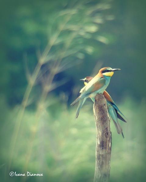 European bee-eater 2 (Merops apiaster) by idiabb
