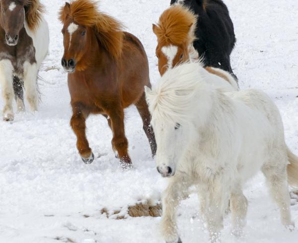 Icelandic Horses by Legend147