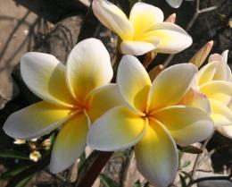 Temple Flowers, Hua Hin
