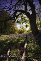 bluebells in the sun
