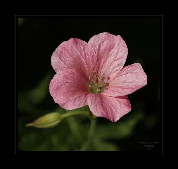 Hardy Geranium by canoncarol