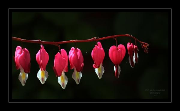 Bleeding Heart by canoncarol