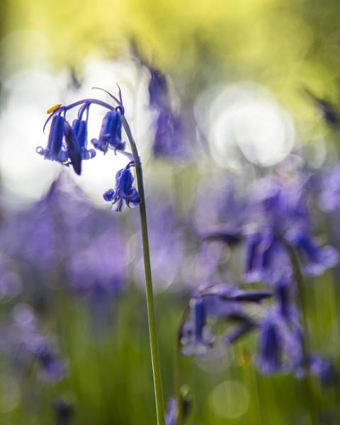 Dawn Bluebells by leftie
