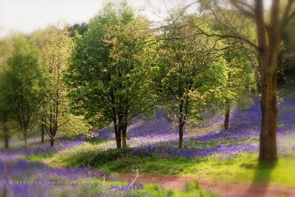 Clent Bluebells by Stephen_B