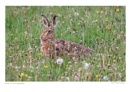 Hare in the Meadow by running_man