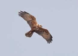 Photo : Marsh Harriers in Flight