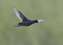 Coot in Flight by NeilSchofield