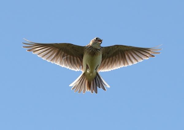 Sky Lark in Flight by NeilSchofield