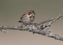 Tree Sparrow by NeilSchofield