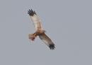 Marsh Harrier with Kill by NeilSchofield