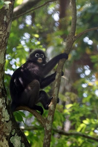 Spectecled Leaf Monkey by Silverzone