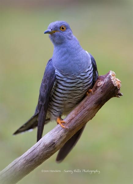 Cuckoo by SurreyHillsMan