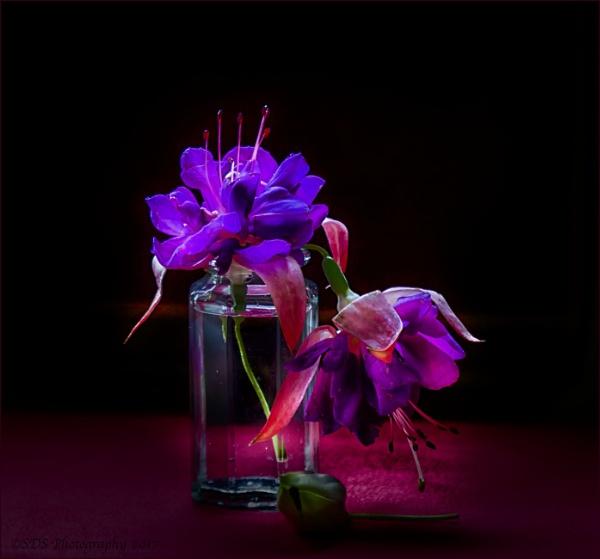 Fuchsia\'s by Daisymaye