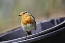 European Robin by JOHNYCAD