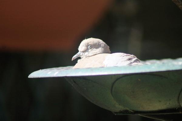 young collareddove asleep in bird bath by mountains
