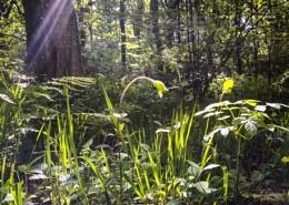 Woodland greenery
