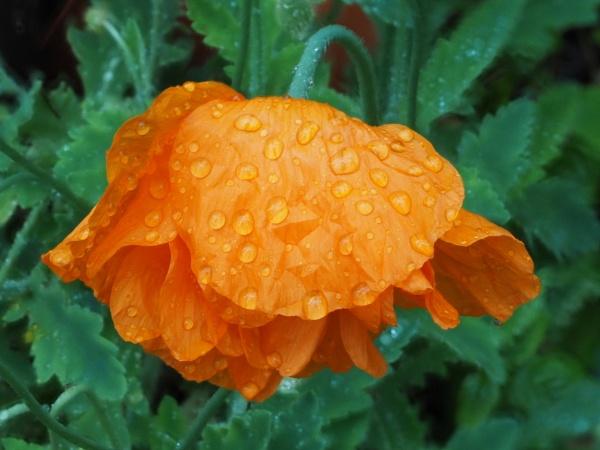 Poppy by nclark