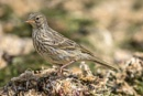 Rock Pipit (Anthus petrosus) by Ray_Seagrove