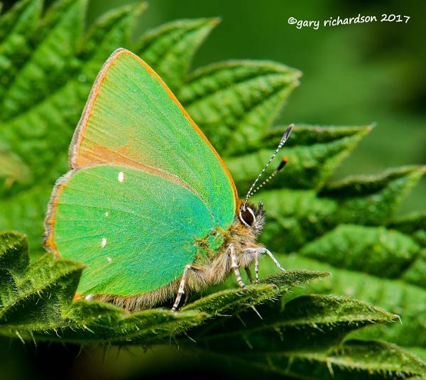 green hairstreak butterfly by djgaryrichardson