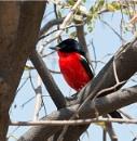 Crimson brested Shrike. by accipiter