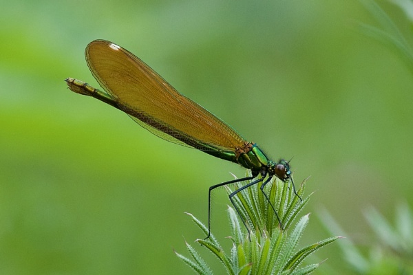 Female Beautiful Damoiselle. by cheddar-caveman