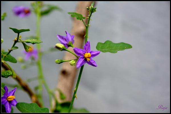 Solanum trilobatum by RajaSidambaram