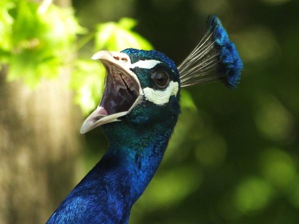 Pavarotti the Peacock.... by ianmoorcroft
