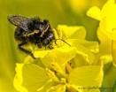 Bumble Bee by Alan_Baseley