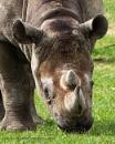 Eastern Black Rhinoceros by Alan_Baseley