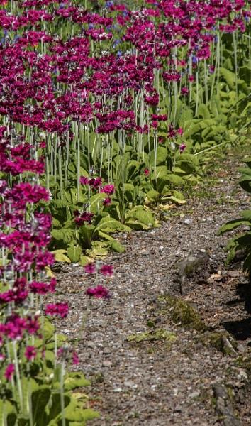 Primula Path by Irishkate