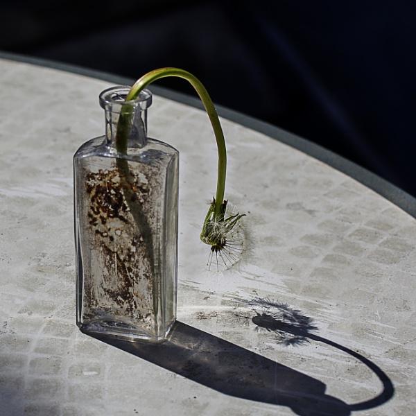Dandelion Seedhead Shadow by Irishkate