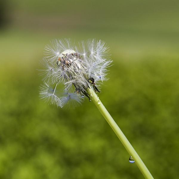Dandelion & Droplet by Irishkate