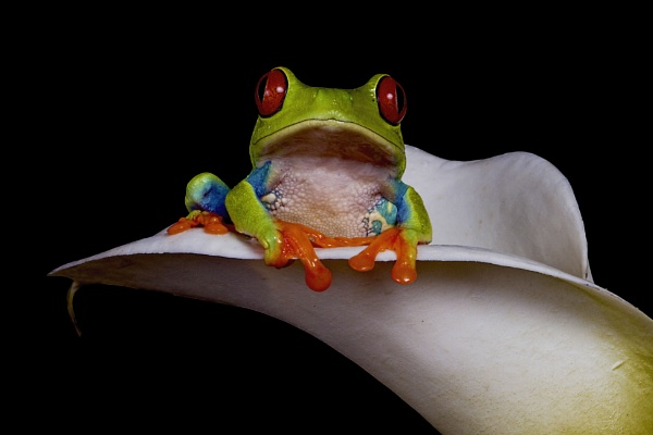 Red Eyed Tree Frog by Willpower