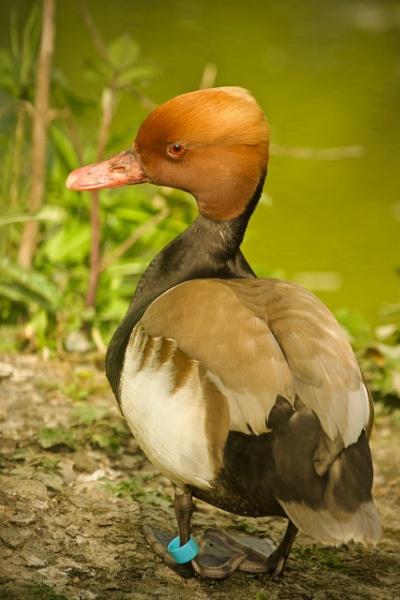 duck by tpfkapm